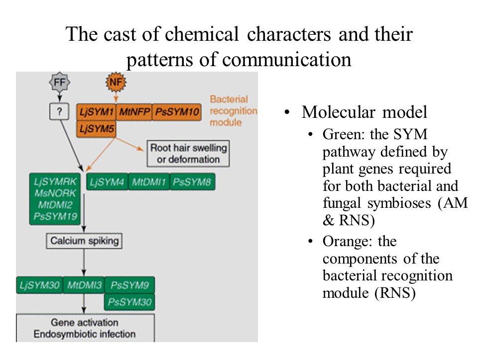 The cast of chemical characters and their patterns of communication Molecular model Green: the SYM pathway defined by plant genes required for both bacterial and fungal symbioses (AM & RNS) Orange: the components of the bacterial recognition module (RNS)