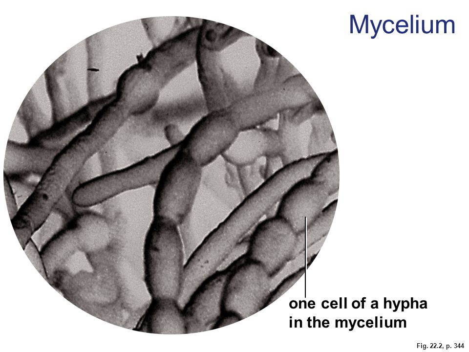 Fig. 22.2, p. 344 one cell of a hypha in the mycelium Mycelium