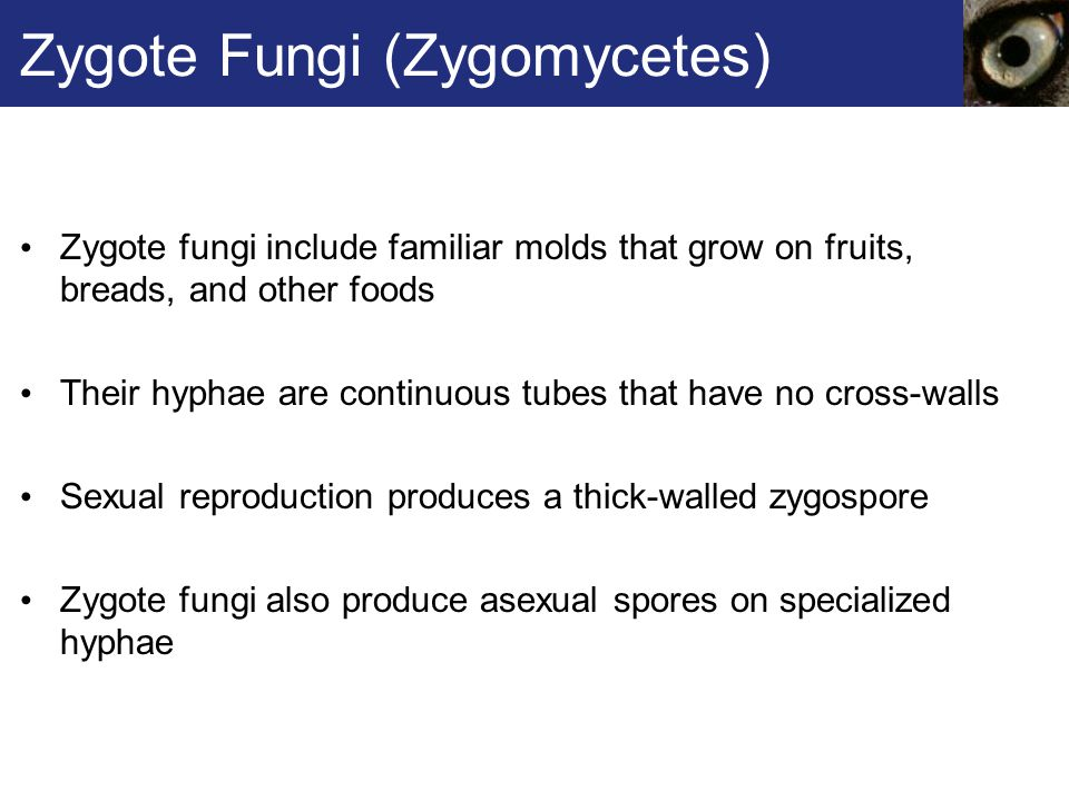 Zygote Fungi (Zygomycetes) Zygote fungi include familiar molds that grow on fruits, breads, and other foods Their hyphae are continuous tubes that hav
