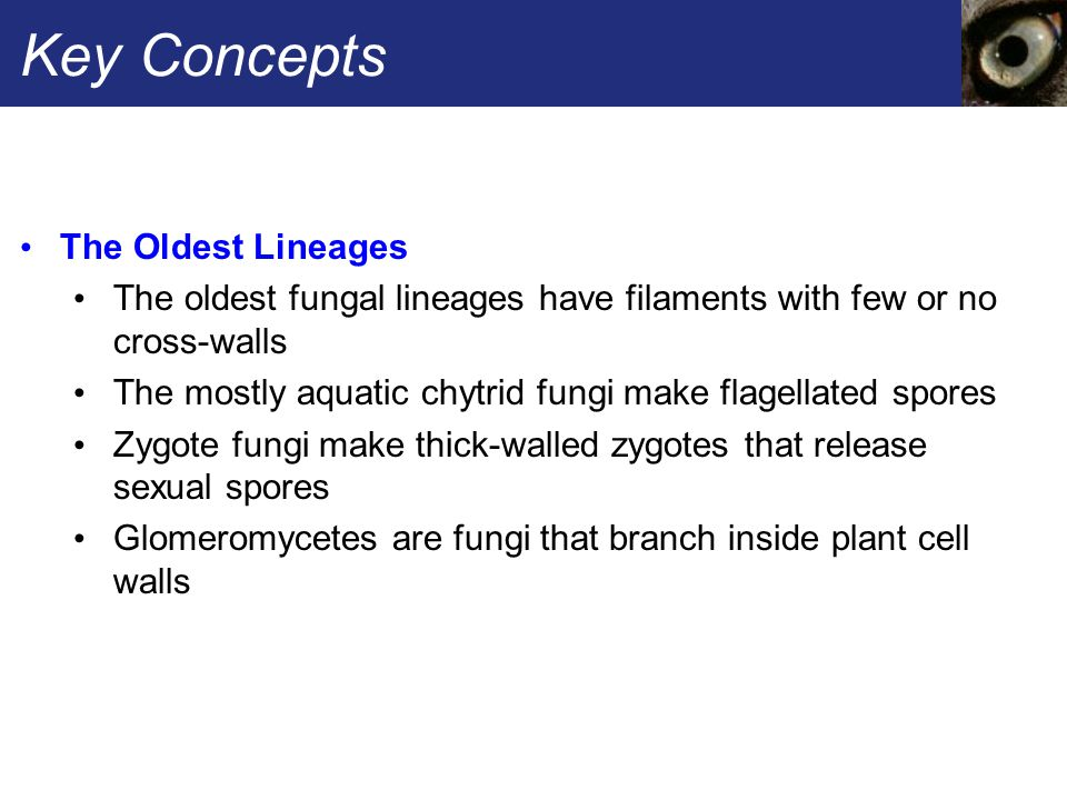 Key Concepts The Oldest Lineages The oldest fungal lineages have filaments with few or no cross-walls The mostly aquatic chytrid fungi make flagellate