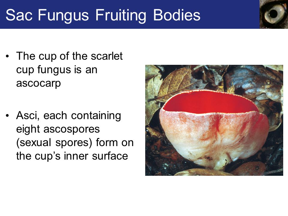 Sac Fungus Fruiting Bodies The cup of the scarlet cup fungus is an ascocarp Asci, each containing eight ascospores (sexual spores) form on the cup's i