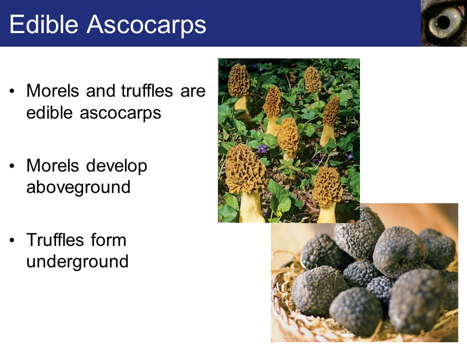 Edible Ascocarps Morels and truffles are edible ascocarps Morels develop aboveground Truffles form underground