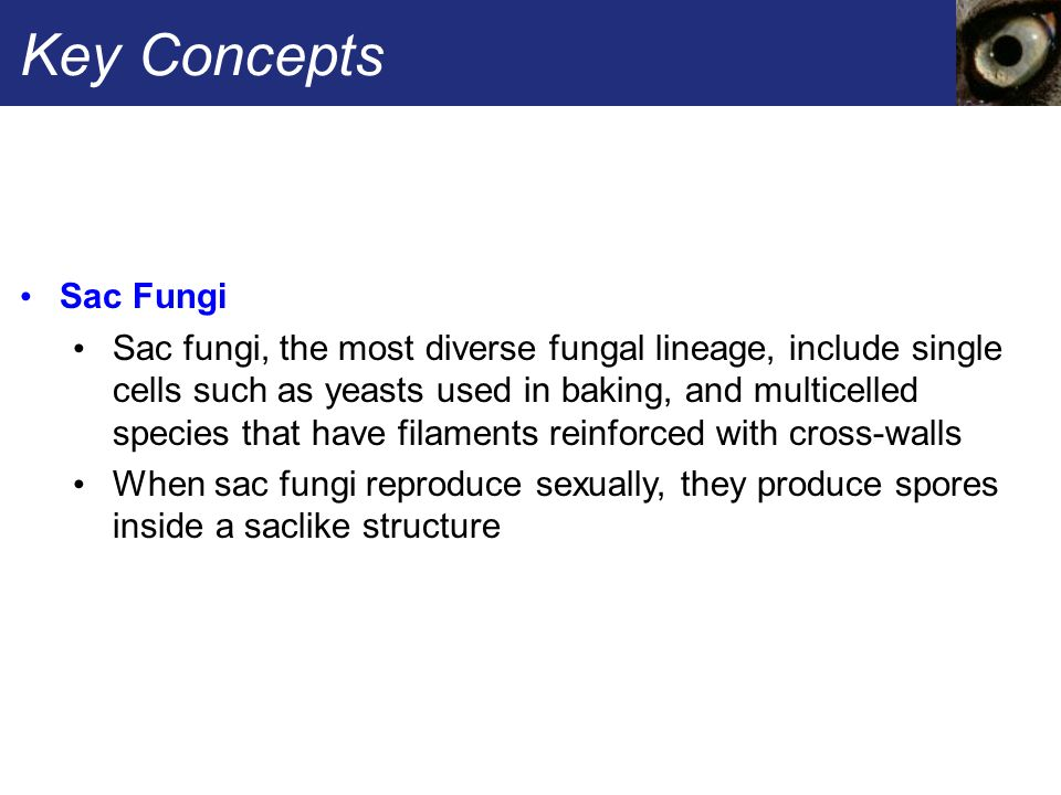 Key Concepts Sac Fungi Sac fungi, the most diverse fungal lineage, include single cells such as yeasts used in baking, and multicelled species that ha