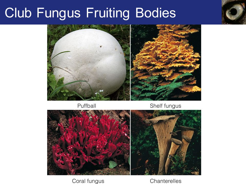 Club Fungus Fruiting Bodies