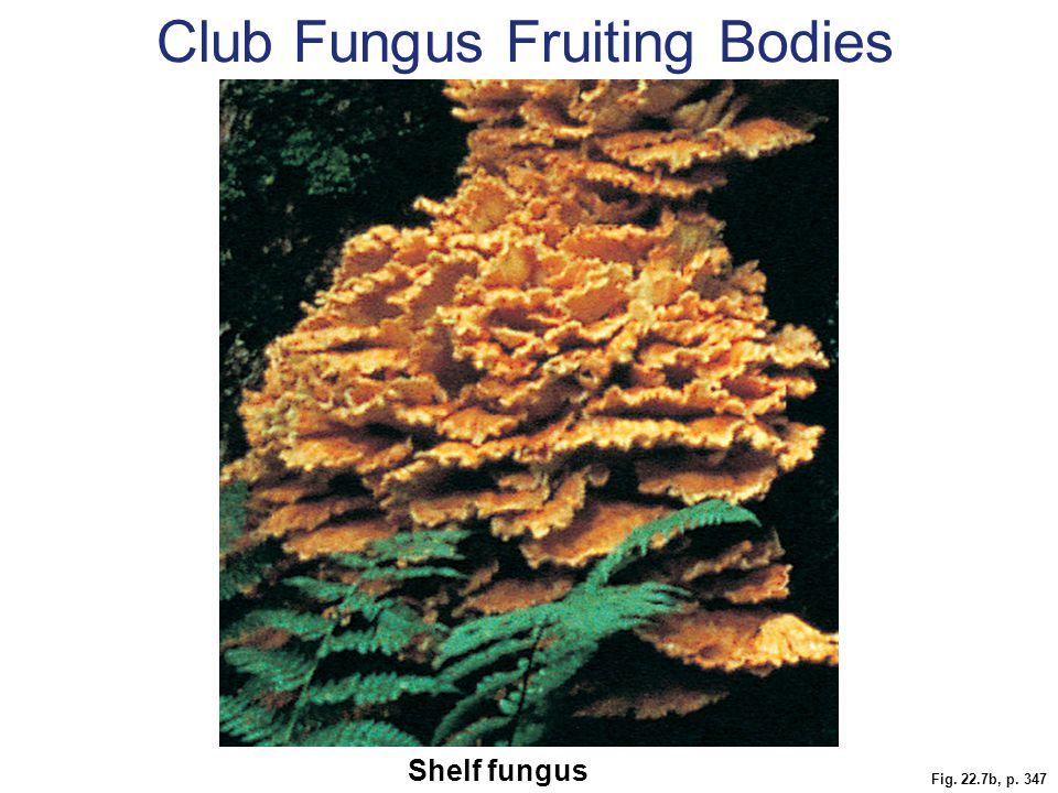 Fig. 22.7b, p. 347 Shelf fungus Club Fungus Fruiting Bodies