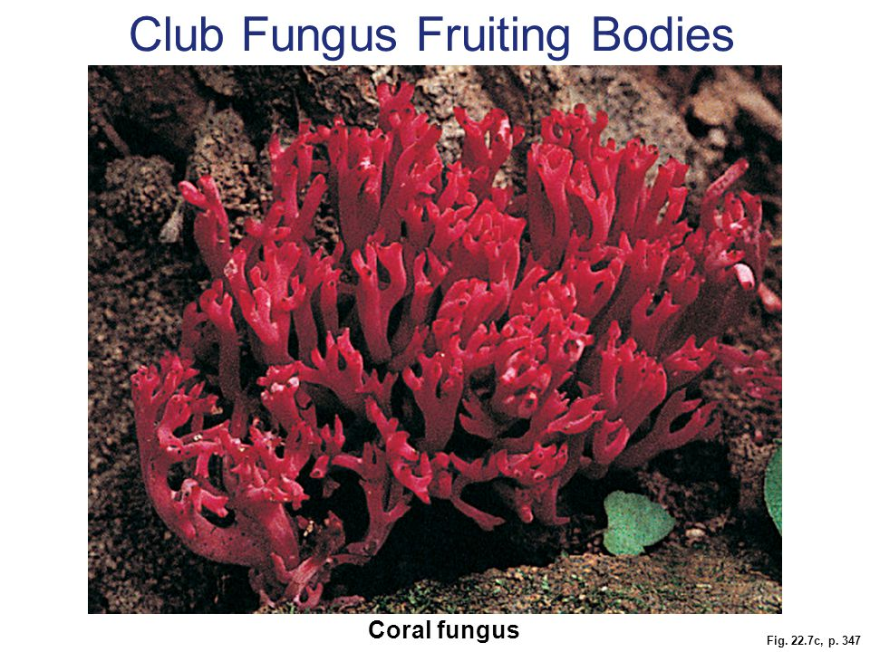 Fig. 22.7c, p. 347 Coral fungus Club Fungus Fruiting Bodies
