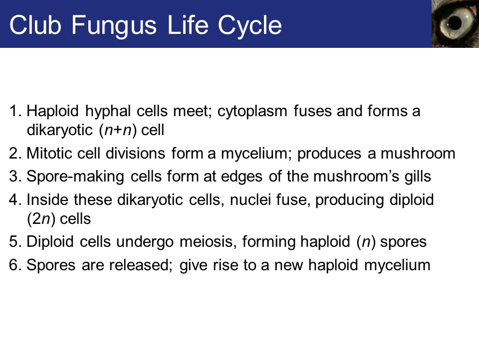 Club Fungus Life Cycle 1. Haploid hyphal cells meet; cytoplasm fuses and forms a dikaryotic (n+n) cell 2. Mitotic cell divisions form a mycelium; prod