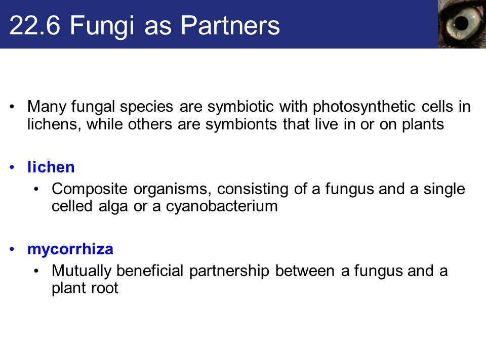 22.6 Fungi as Partners Many fungal species are symbiotic with photosynthetic cells in lichens, while others are symbionts that live in or on plants li