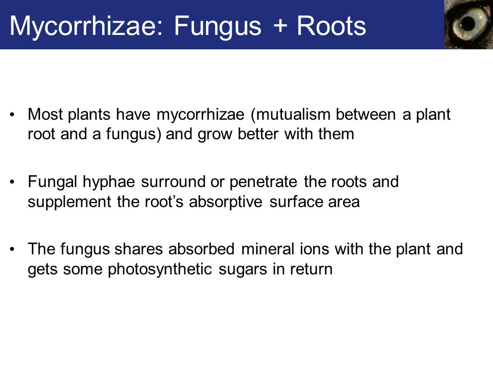 Mycorrhizae: Fungus + Roots Most plants have mycorrhizae (mutualism between a plant root and a fungus) and grow better with them Fungal hyphae surroun