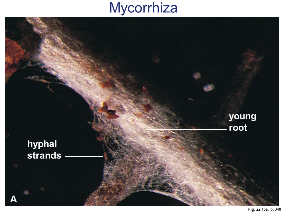 Fig. 22.10a, p. 348 young root hyphal strands A Mycorrhiza