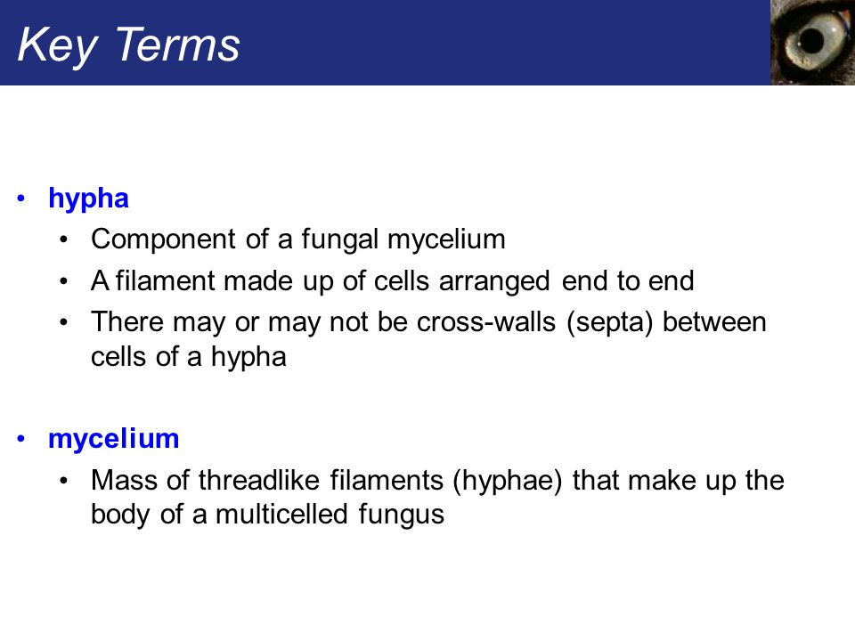 Key Terms hypha Component of a fungal mycelium A filament made up of cells arranged end to end There may or may not be cross-walls (septa) between cel