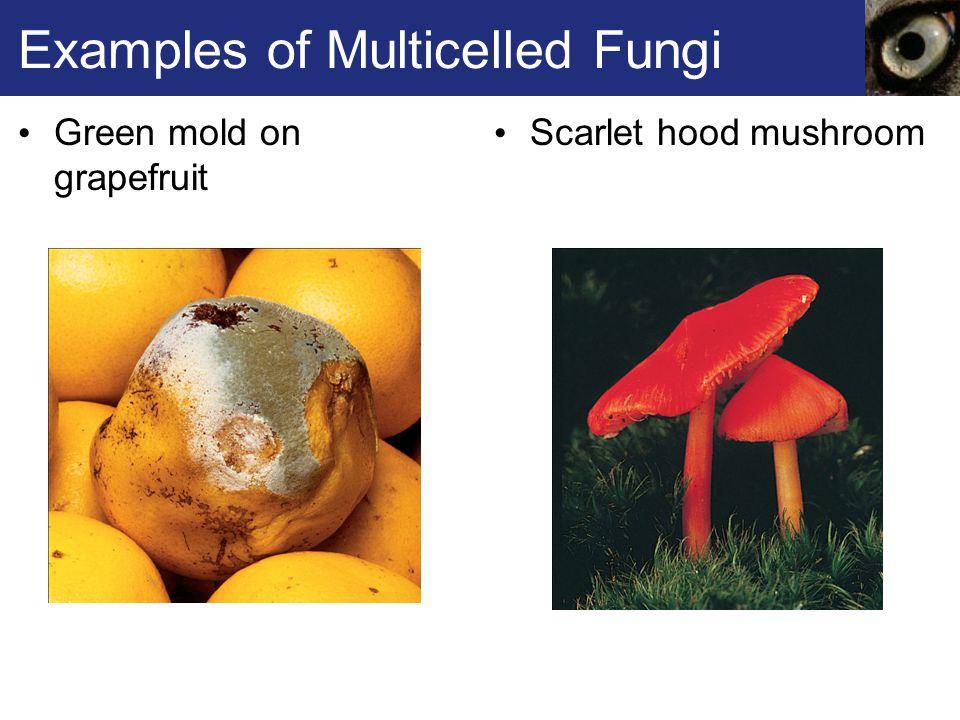 Fig. 22.7d, p. 347 Chanterelles Club Fungus Fruiting Bodies