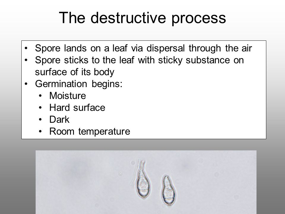 The destructive process Spore lands on a leaf via dispersal through the air Spore sticks to the leaf with sticky substance on surface of its body Germ