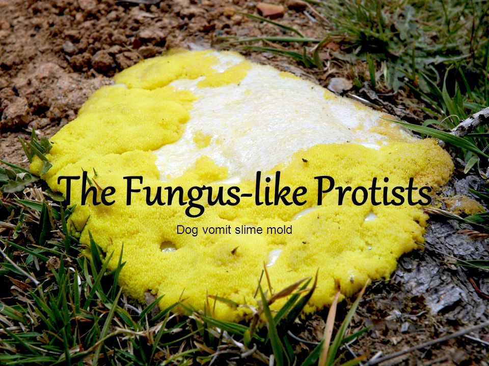Characteristics The Fungus-like protists are heterotrophs that absorb nutrients from dead or decaying matter.