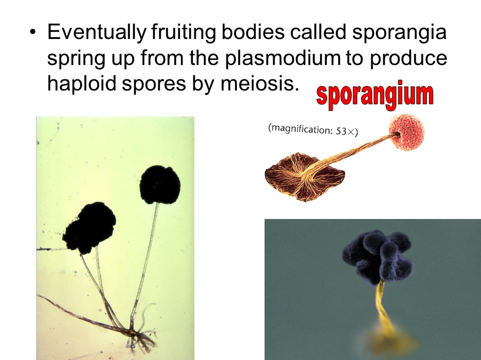 Eventually fruiting bodies called sporangia spring up from the plasmodium to produce haploid spores by meiosis.