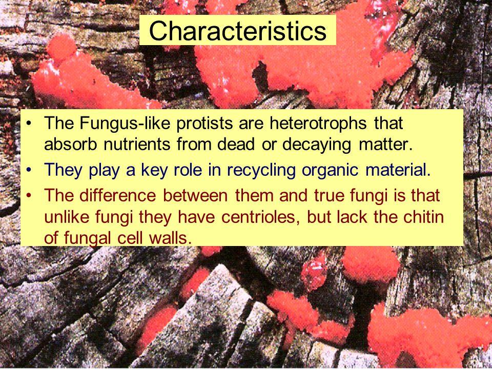Types of Fungus-like Protists cellular slime molds (Phylum Acrasiomycota) acellular slime molds (Phylum Myxomycota) water molds (Phylum Oomycota)