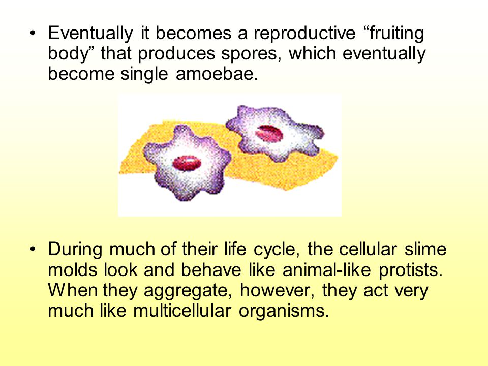 "Eventually it becomes a reproductive ""fruiting body"" that produces spores, which eventually become single amoebae. During much of their life cycle, th"