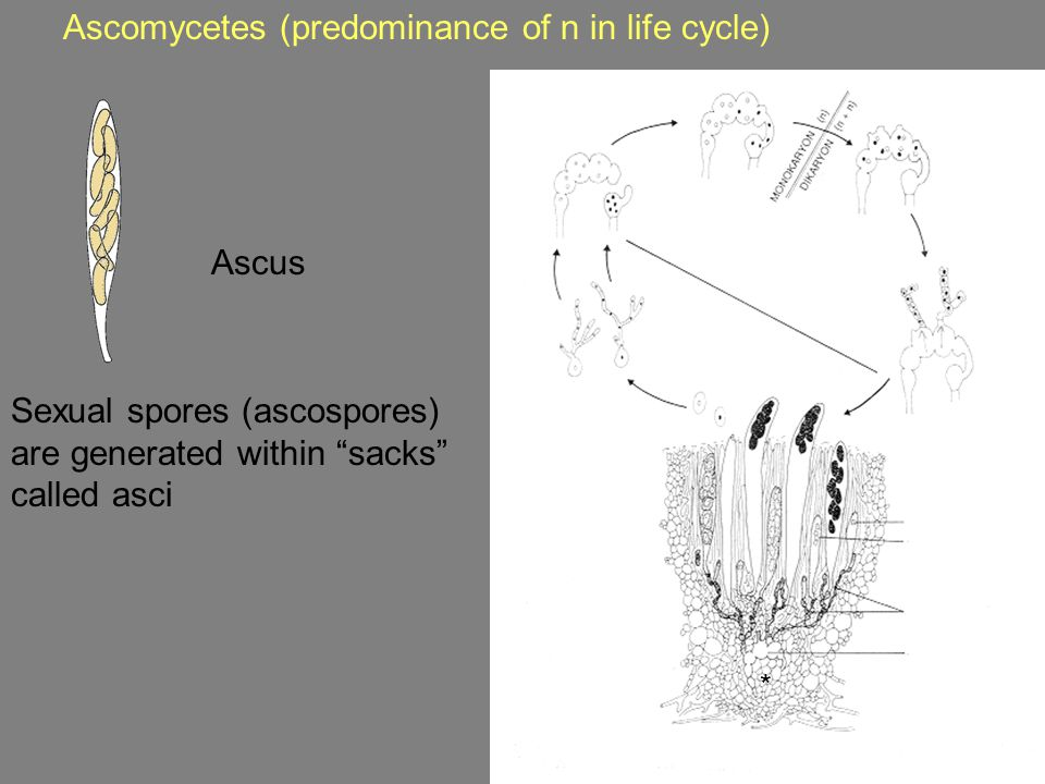 Ascomycetes (predominance of n in life cycle) Sexual spores (ascospores) are generated within sacks called asci * Ascus