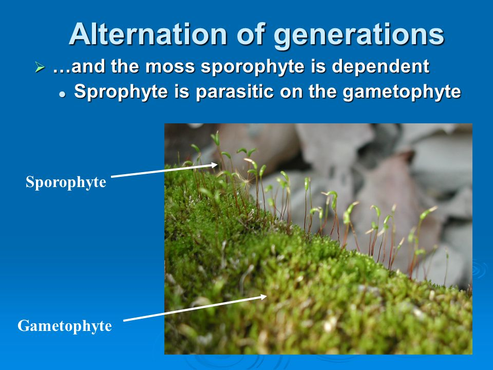 Alternation of generations  …and the moss sporophyte is dependent Sprophyte is parasitic on the gametophyte Sprophyte is parasitic on the gametophyte