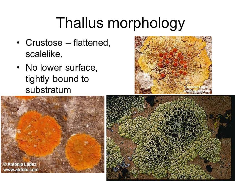 Thallus morphology Crustose – flattened, scalelike, No lower surface, tightly bound to substratum