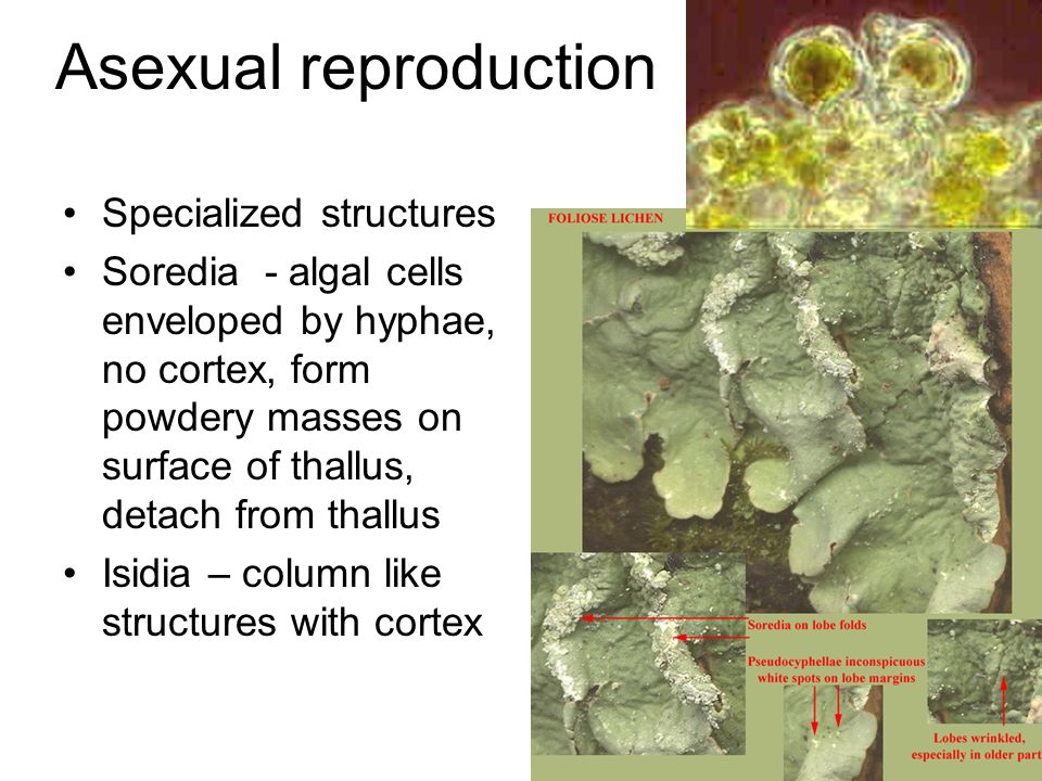 Asexual reproduction Specialized structures Soredia - algal cells enveloped by hyphae, no cortex, form powdery masses on surface of thallus, detach from thallus Isidia – column like structures with cortex