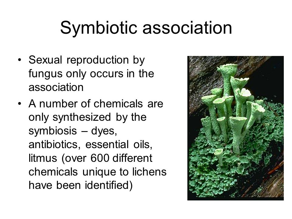 Symbiotic association Sexual reproduction by fungus only occurs in the association A number of chemicals are only synthesized by the symbiosis – dyes, antibiotics, essential oils, litmus (over 600 different chemicals unique to lichens have been identified)