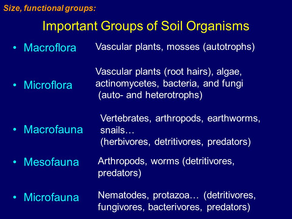 Important Groups of Soil Organisms Macroflora Microflora Macrofauna Vascular plants, mosses (autotrophs) Vascular plants (root hairs), algae, actinomycetes, bacteria, and fungi (auto- and heterotrophs) Vertebrates, arthropods, earthworms, snails… (herbivores, detritivores, predators) Size, functional groups: Mesofauna Microfauna Arthropods, worms (detritivores, predators) Nematodes, protazoa… (detritivores, fungivores, bacterivores, predators)