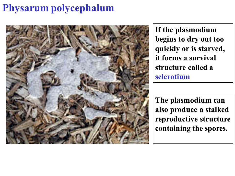 If the plasmodium begins to dry out too quickly or is starved, it forms a survival structure called a sclerotium The plasmodium can also produce a sta