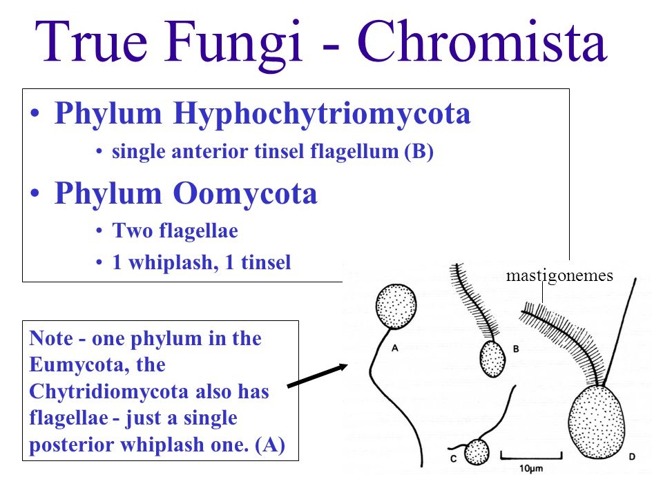 True Fungi - Chromista Phylum Hyphochytriomycota single anterior tinsel flagellum (B) Phylum Oomycota Two flagellae 1 whiplash, 1 tinsel (D) mastigone