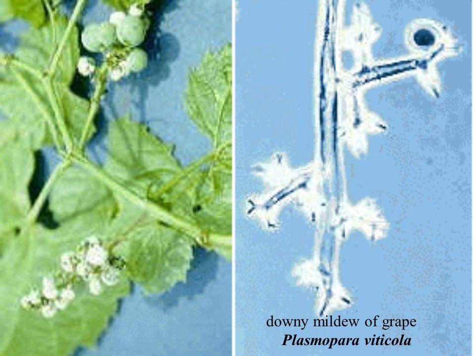 downy mildew of grape Plasmopara viticola