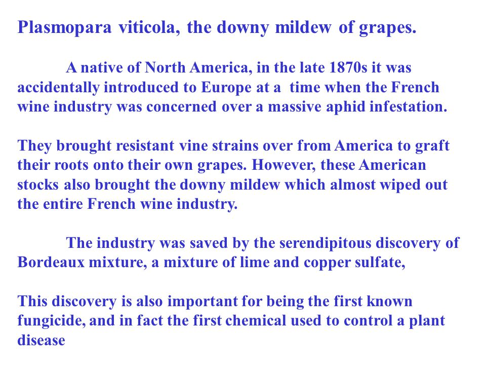 Plasmopara viticola, the downy mildew of grapes. A native of North America, in the late 1870s it was accidentally introduced to Europe at a time when