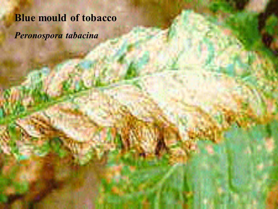 Blue mould of tobacco Peronospora tabacina