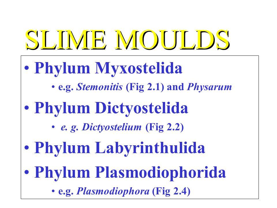 SLIME MOULDS Phylum Myxostelida e.g. Stemonitis (Fig 2.1) and Physarum Phylum Dictyostelida e. g. Dictyostelium (Fig 2.2) Phylum Labyrinthulida Phylum