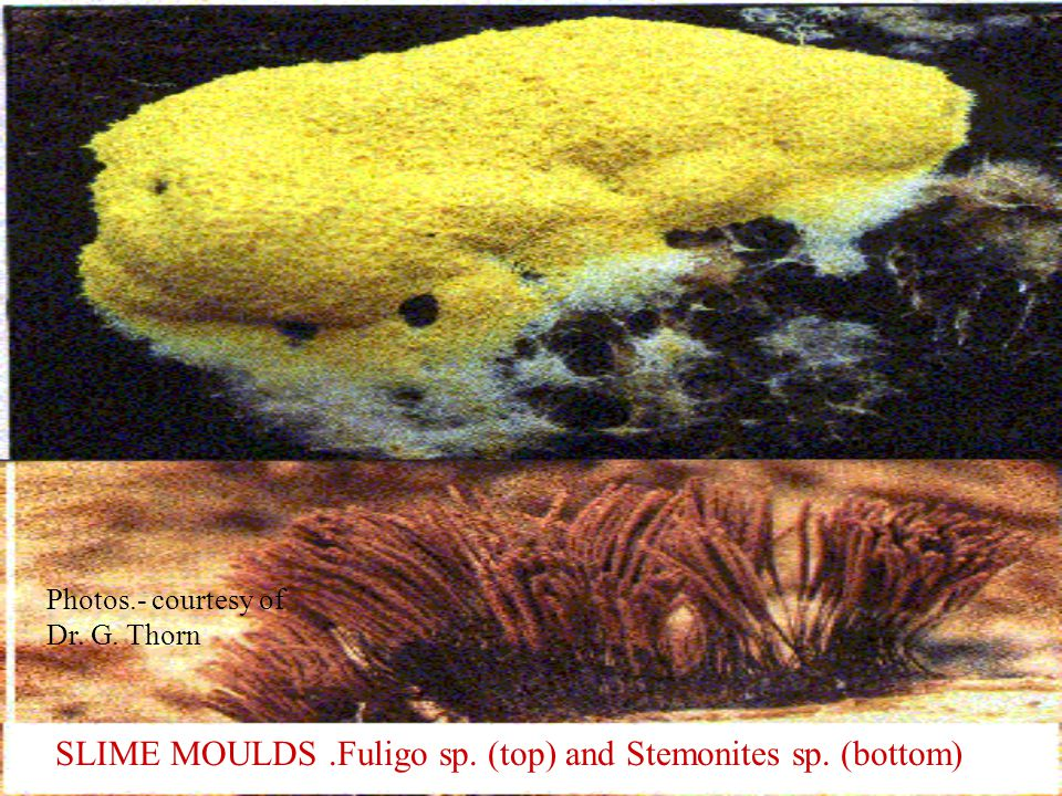 SLIME MOULDS.Fuligo sp. (top) and Stemonites sp. (bottom) Photos.- courtesy of Dr. G. Thorn
