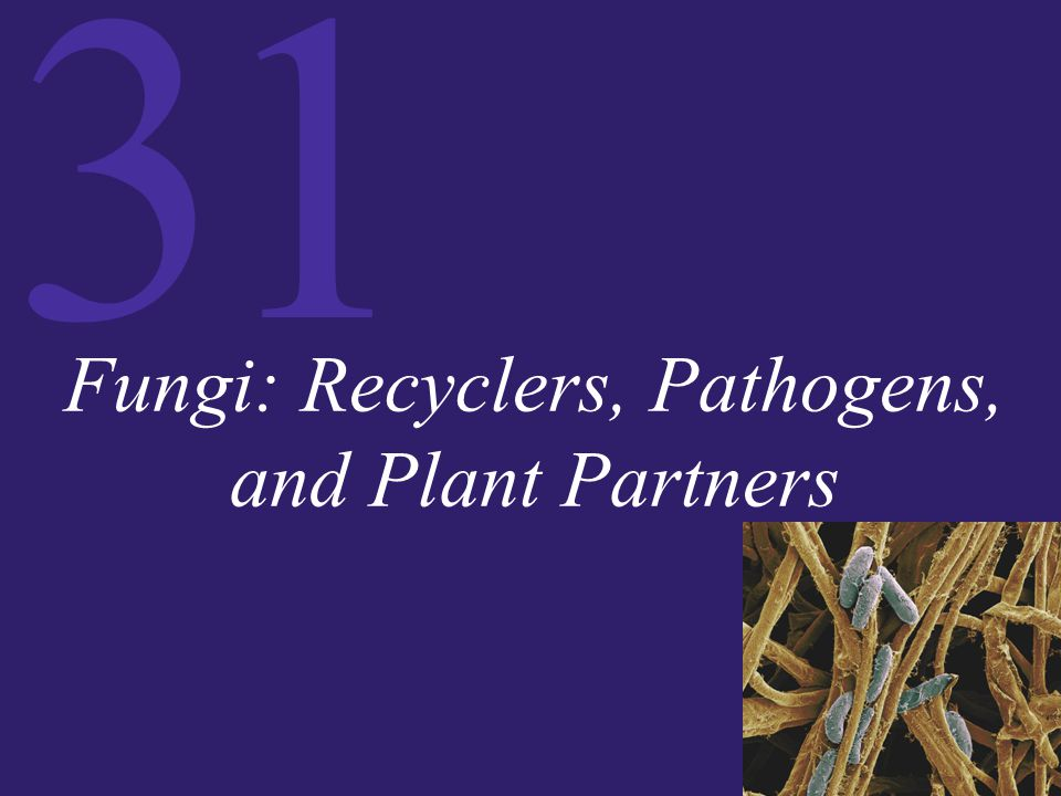 31 Fungi: Recyclers, Pathogens, and Plant Partners