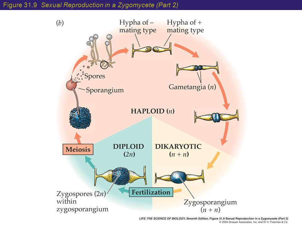 Figure 31.9 Sexual Reproduction in a Zygomycete (Part 2)