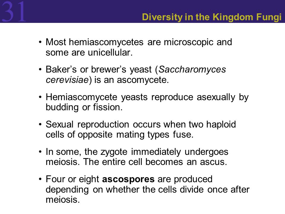 31 Diversity in the Kingdom Fungi Most hemiascomycetes are microscopic and some are unicellular. Baker's or brewer's yeast (Saccharomyces cerevisiae)