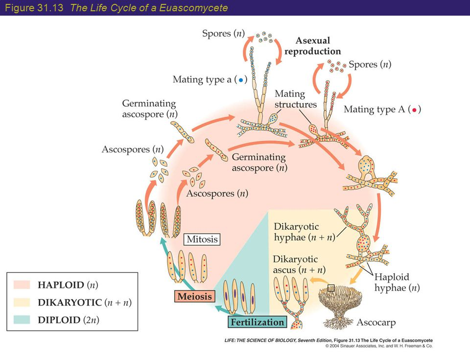 Figure 31.13 The Life Cycle of a Euascomycete