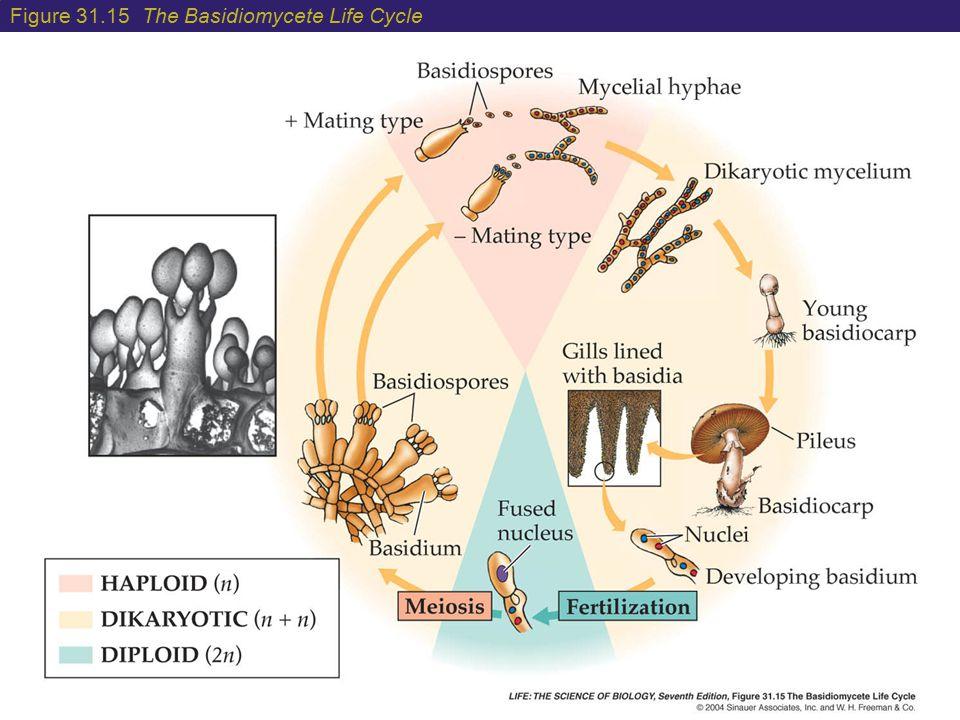 Figure 31.15 The Basidiomycete Life Cycle