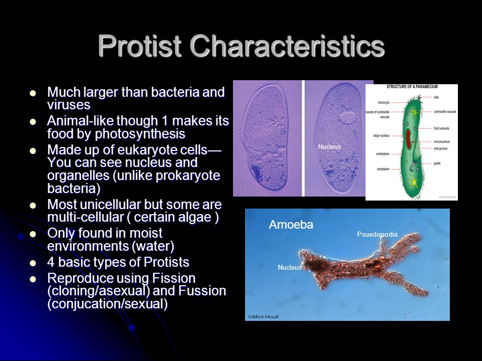 Protist Characteristics Much larger than bacteria and viruses Much larger than bacteria and viruses Animal-like though 1 makes its food by photosynthe