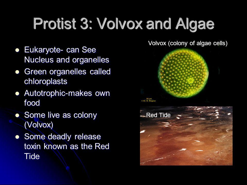 Protist 3: Volvox and Algae Eukaryote- can See Nucleus and organelles Eukaryote- can See Nucleus and organelles Green organelles called chloroplasts G