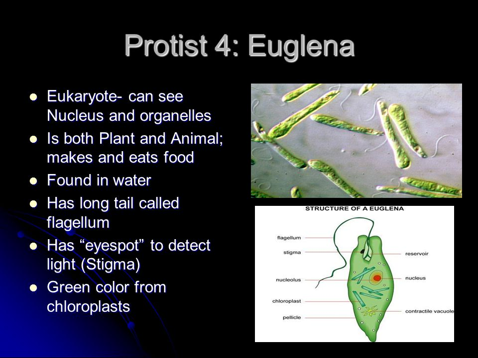 Protist 4: Euglena Eukaryote- can see Nucleus and organelles Eukaryote- can see Nucleus and organelles Is both Plant and Animal; makes and eats food I
