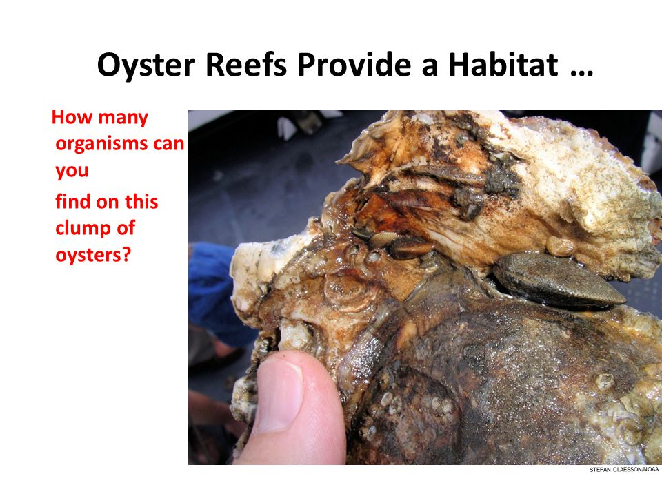 Oyster Reefs Provide a Habitat … How many organisms can you find on this clump of oysters? STEFAN CLAESSON/NOAA