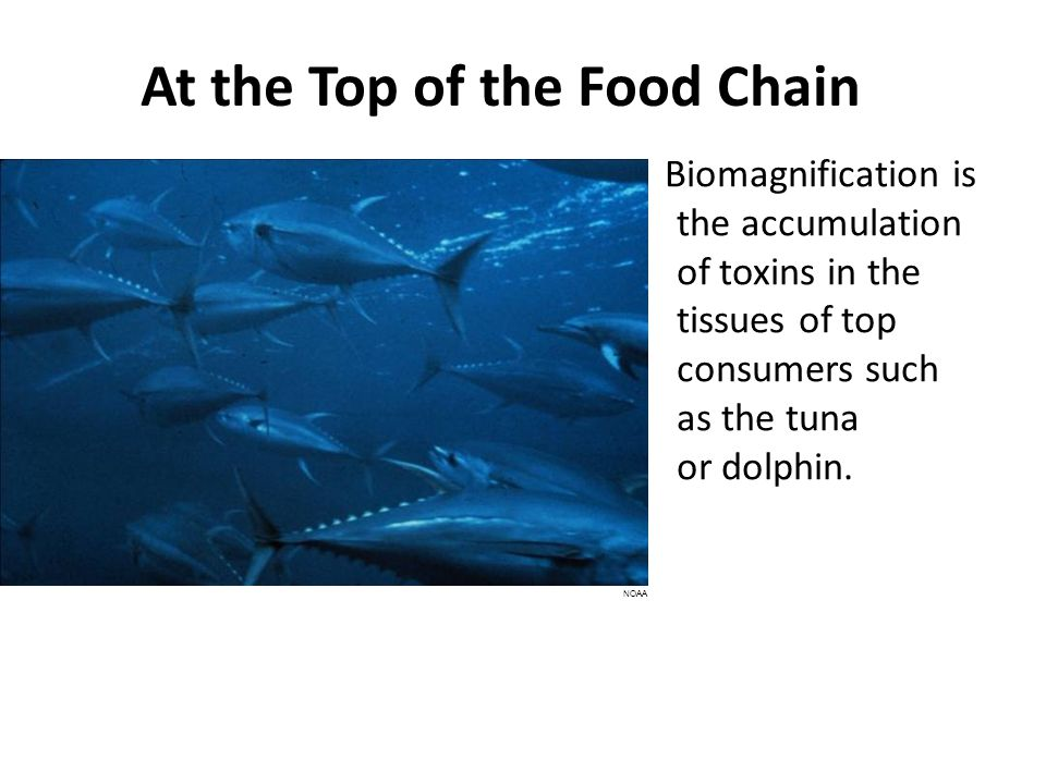At the Top of the Food Chain Biomagnification is the accumulation of toxins in the tissues of top consumers such as the tuna or dolphin.