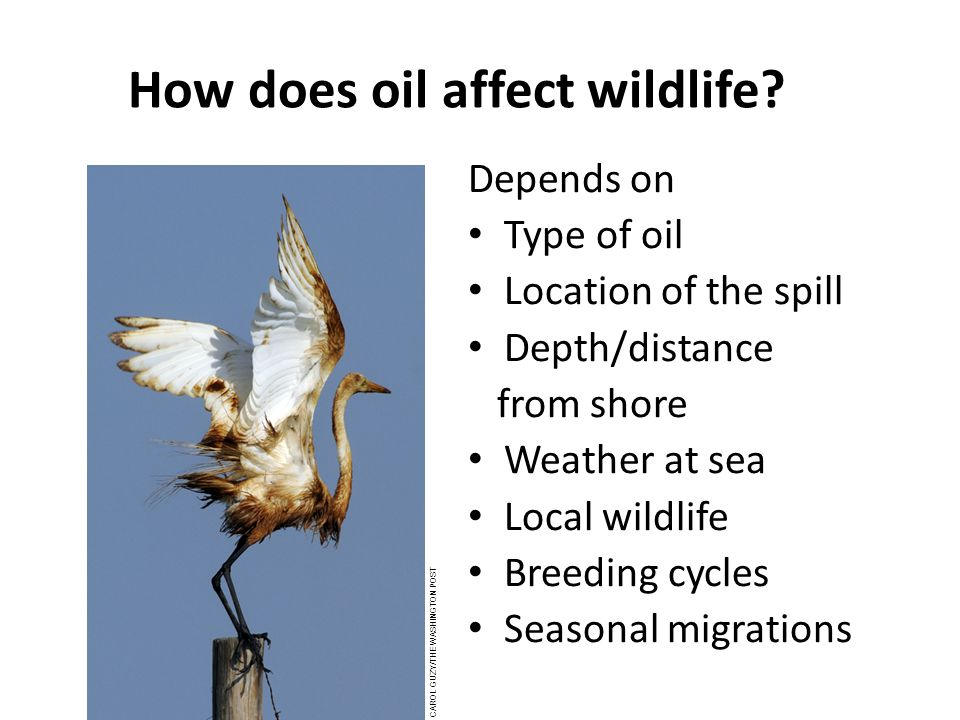 How does oil affect wildlife.