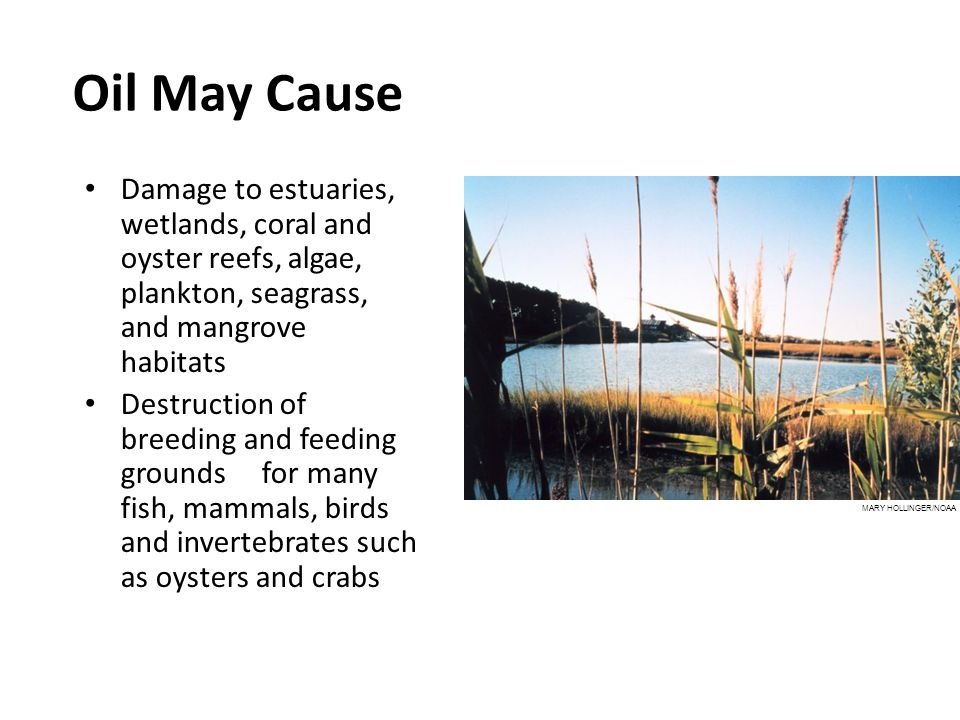 Oil May Cause Damage to estuaries, wetlands, coral and oyster reefs, algae, plankton, seagrass, and mangrove habitats Destruction of breeding and feeding grounds for many fish, mammals, birds and invertebrates such as oysters and crabs MARY HOLLINGER/NOAA
