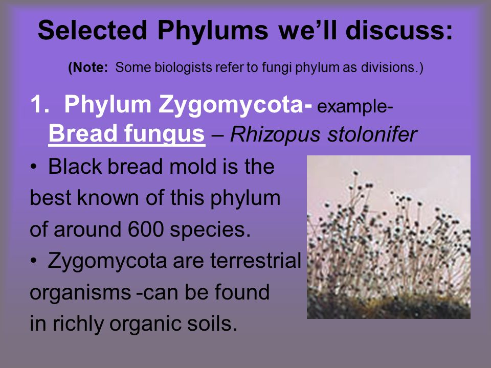 Selected Phylums we'll discuss: (Note: Some biologists refer to fungi phylum as divisions.) 1. Phylum Zygomycota- example- Bread fungus – Rhizopus sto
