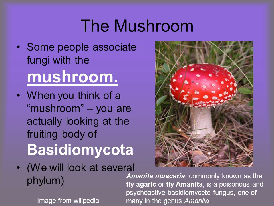 "The Mushroom Some people associate fungi with the mushroom. When you think of a ""mushroom"" – you are actually looking at the fruiting body of Basidiom"