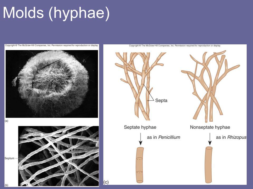 Molds (hyphae)
