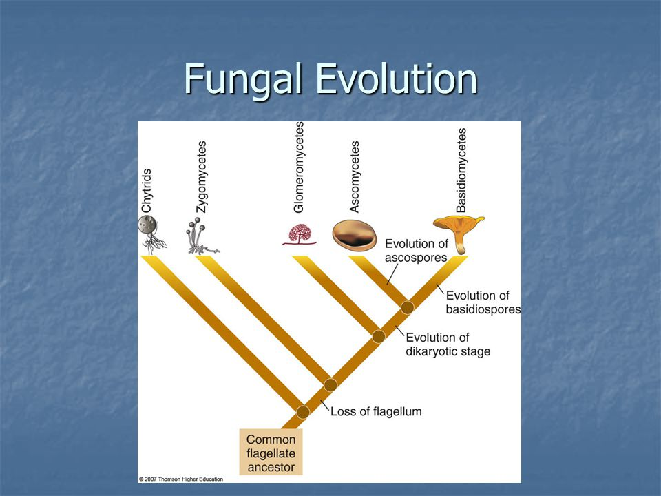 Fungal Evolution